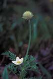 FLO ANE MIS  MB  IAW0004995D  VTWESTERN ANEMONE(ANEMONE OCCIDENTALIS)WINNIPEG                            07© IAN A. WARD                    ALL RIGHTS RESERVEDANEMONES;FLOWERS;MANITOBA;MB_;PLAINS;PRAIRIES;SCENES;SUMMER;VTL;WESTERN_ANEMONE;WILDFLOWERS;WINNIPEGLONE PINE PHOTO              (306) 683-0889