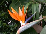 FLO BIR MIS  SK  CWN02D4144D    BIRD OF PARADISE BLOSSOMMENDEL ART GALLERYSASKATOON                       1013© CLARENCE W. NORRIS      ALL RIGHTS RESERVEDBIRD_OF_PARADISE;CONSERVATORIES;FLOWERS;GREENHOUSES;MENDEL_ART_GALLERY;SASKATCHEWAN;SASKATOON;SK_;TROPICALLONE PINE PHOTO              (306) 683-0889