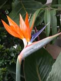 FLO BIR MIS  SK  CWN02D4145D  VT     BIRD OF PARADISE BLOSSOMMENDEL ART GALLERYSASKATOON                       1013© CLARENCE W. NORRIS      ALL RIGHTS RESERVEDBIRD_OF_PARADISE;BULLETINS;CONSERVATORIES;FLOWERS;GREENHOUSES;MENDEL_ART_GALLERY;SASKATCHEWAN;SASKATOON;SK_;TROPICAL;VTLLONE PINE PHOTO              (306) 683-0889