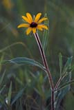 FLO BLA SUS  MB  IAW0963105D  VTBLACK-EYED SUSAN(RUDBECKIA HIRTA)WINNIPEG                            07© IAN A. WARD                    ALL RIGHTS RESERVEDBLACK_EYED_SUSAN;FLOWERS;MANITOBA;MB_;PLAINS;PRAIRIES;SCENES;SUMMER;VTL;WILDFLOWERS;WINNIPEGLONE PINE PHOTO              (306) 683-0889