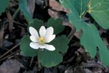 FLO BLO MIS  MB  IAW1901806DBLOODROOT FLOWER(SANGUINARIA CANADENSIS)WINNIPEG                            04© IAN A. WARD                    ALL RIGHTS RESERVEDBLOODROOT;FLOWERS;MANITOBA;MB_;PLAINS;PRAIRIES;SCENES;SPRING;WILDFLOWERS;WINNIPEGLONE PINE PHOTO              (306) 683-0889
