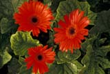 FLO DAI GER  BC  WFS1000100DRED GERBERA DAISIESCHILLIWACK                     05© WILLIAM F. SMITH         ALL RIGHTS RESERVEDBC_;BRITISH;BRITISH_COLUMBIA;CHILLIWACK;COLUMBIA;CORDILLERA;DAISIES;FLOWERS;GERBERA_DAISY;INTERIOR;RED_GERBERA_DAISY;SPRINGLONE PINE PHOTO              (306) 683-0889