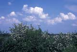 FLO HAW MIS  MB  IAW1502620DHAWTHORN(CRATAEGUS SPECIES)TALL-GRASS PRAIRIE PRES      06© IAN A. WARD                    ALL RIGHTS RESERVEDFLOWERS;HAWTHORN;MANITOBA;MB_;PLAINS;PRAIRIES;SCENES;SUMMER;TALL_GRASS_PRAIRIE_PRESERVE;WILDFLOWERSLONE PINE PHOTO              (306) 683-0889