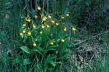 FLO LAD YEL  SK     1004001DYELLOW LADY'S SLIPPERPIKE LAKE                           067© CLARENCE W. NORRIS      ALL RIGHTS RESERVEDBOG;FLOWERS;LADYS_SLIPPERS;MARSHES;ORCHIDS;PIKE_LAKE;PLAINS;PRAIRIES;SASKATCHEWAN;SK_;WILDFLOWERS;YELLOW_LADYS_SLIPPER LONE PINE PHOTO              (306) 683-0889