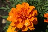 FLO MAR MIS  SK  LJNO7A0317DXMARIGOLD BLOSSOMSSASKATOON                       07© LAURA NORRIS                 ALL RIGHTS RESERVEDDOMESTIC;FLOWERS;GARDENS;MARIGOLDS;ORANGE;PLAINS;PRAIRIES;SASKATCHEWAN;SASKATOON;SUMMERLONE PINE PHOTO              (306) 683-08