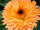 FLO MAR POT   AB  CWN02D2194DPOT MARIGOLD, CASCADE GARDENSBANFF                                     08..© CLARENCE W NORRIS           ALL RIGHTS RESERVEDAB_;ALBERTA;BANFF;CASCADE_GARDENS;CORDILLERA;FLOWERS;GARDEN;MARIGOLDS;POT_MARIGOLD;SUMMERLONE PINE PHOTO                  (306) 683-0889