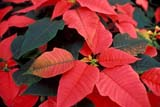 FLO POI MIS  ON  LDL1000464DDEEP PINK POINSETTIABOWMANVILLE                     12/..© DIANE LACKIE                    ALL RIGHTS RESERVEDBOWMANVILLE;CENTRAL;CHRISTMAS;EVENTS;FLOWERS;ON_;ONTARIO;POINSETTIAS;WINTERLONE PINE PHOTO              (306) 683-0889