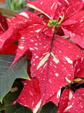 FLO POI MIS  SK  CWN02D5105D  VTCLOSE-UP OF VARIEGATED POINSETTIA FLOWERSWILSON'S GREENHOUSE AND GARDEN CENTRESASKATOON                           128© CLARENCE W. NORRIS           ALL RIGHTS RESERVEDCHRISTMAS;EVENTS;FLOWERS;GARDEN;GREENHOUSES;POINSETTIAS;SASKATCHEWAN;SASKATOON;SK_;VARIEGATED_POINSETTIALONE PINE PHOTO                   (306) 683-0889