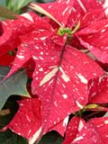 FLO POI MIS  SK  CWN02D5114D  VTCLOSE-UP OF VARIEGATED POINTSETTIA FLOWERSWILSON'S GREENHOUSE AND GARDEN CENTRESASKATOON                           128© CLARENCE W. NORRIS           ALL RIGHTS RESERVEDBULLETINS;CHRISTMAS;EVENTS;FLOWERS;GARDEN;GREENHOUSES;POINSETTIAS;SASKATCHEWAN;SASKATOON;SK_;VARIEGATED_POINSETTIA;VTLLONE PINE PHOTO                   (306) 683-0889.