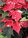 FLO POI MIS  SK  CWN02D5115D  VTCLOSE-UP OF VARIEGATED POINSETTIA FLOWERSWILSON'S GREENHOUSE AND GARDEN CENTRESASKATOON                           128© CLARENCE W NORRIS           ALL RIGHTS RESERVEDBULLETINS;CHRISTMAS;EVENTS;FLOWERS;GARDEN;GREENHOUSES;POINSETTIAS;SASKATCHEWAN;SASKATOON;SK_;VARIEGATED_POINSETTIA;VTLLONE PINE PHOTO                   (306) 683-0889.