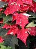 FLO POI MIS  SK  CWN02D5116D  VTCLOSE-UP OF VARIEGATED POINSETTIA FLOWERSWILSON'S GREENHOUSE AND GARDEN CENTRESASKATOON                           128© CLARENCE W NORRIS           ALL RIGHTS RESERVEDBULLETINS;CHRISTMAS;EVENTS;FLOWERS;GARDEN;GREENHOUSES;POINSETTIAS;SASKATCHEWAN;SASKATOON;SK_;VARIEGATED_POINSETTIA;VTLLONE PINE PHOTO                   (306) 683-0889