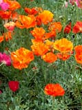 FLO POP MIS  AB  CWN02D2195D  VTCALIFORNIA POPPIESCASCADE GARDENSBANFF                                     08..© CLARENCE W NORRIS           ALL RIGHTS RESERVEDAB_;ALBERTA;BANFF;BULLETINS;CALIFORNIA_POPPY;CASCADE_GARDENS;CORDILLERA;FLOWERS;GARDEN;POPPIES;VTLLONE PINE PHOTO                  (306) 683-0889.