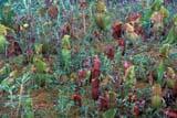 FLO PIT MIS  MB  IAW1906203DPITCHER PLANTS(SARRACENIA PURPUREA)WINNIPEG                            07© IAN A. WARD                    ALL RIGHTS RESERVEDFLOWERS;MANITOBA;MB_;PITCHER_PLANT;PLAINS;PRAIRIES;SCENES;SUMMER;WILDFLOWERS;WINNIPEGLONE PINE PHOTO              (306) 683-0889