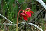 FLO PIT MIS  SK  CWN02A018DPITCHER PLANT CLOSE-UP OF BLOSSOM   BOUNDARY BOG                PRINCE ALBERT NATIONAL PARK    07/..              © CLARENCE W. NORRIS         ALL RIGHTS RESERVEDBOGS;BOREAL;FLOWERS;NP_;PARKLAND;PITCHER_PLANT;PRINCE_ALBERT_NP;SASKATCHEWAN;SK_;WILDFLOWERSLONE PINE PHOTO                  (306) 683-0889