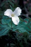 FLO TRI WHI  ON  MTT1000088D  VTWHITE TRILLIUMSPURPLE WOODS                 05/..© MIKE TOBIN                     ALL RIGHTS RESERVEDBULLETINS;CENTRAL;FLOWERS;PURPLE_WOODS;ON_;ONTARIO;SUMMER;TRILLIUMS;VTL;WHITE_TRILLIUM;WILDFLOWERSLONE PINE PHOTO              (306) 683-0889