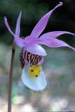 FLO VEN SLI  MB  IAW1601004D  VTVENUS SLIPPER(CALYPSO BULBOSA)AGASSIZ PROV FOREST          05© IAN A. WARD                    ALL RIGHTS RESERVEDAGASSIZ_PROVINCIAL_FOREST;FLOWERS;MANITOBA;MB_;PLAINS;PRAIRIES;SCENES;SPRING;VENUS_SLIPPER;VTL;WILDFLOWERSLONE PINE PHOTO              (306) 683-0889