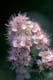 MEADOWSWEET FLOWERS, GREENS CREEK
