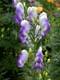 MONKSHOOD FLOWERS, CASCADE GARDENS, BANFF