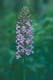 SMALL PURPLE FRINGED ORCHID, WINNIPEG