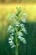 WESTERN PRAIRIE FRINGED ORCHID, TALL-GRASS PRAIRIE RESERVE