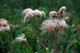 PRAIRIE SMOKE OR THREE-FLOWERED AVENS, MANITOBA