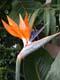 BIRD OF PARADISE BLOSSOM, SASKATOON