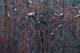 CLIMBING BITTERSWEET BERRIES, MANITOBA