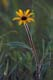 BLACK-EYED SUSAN, WINNIPEG