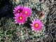 PINCUSHION CACTUS IN BLOOM, LEADER
