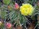 PRICKLY PEAR CACTUS IN BLOOM, SASKATCHEWAN LANDING PROVINCIAL PARK