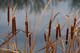COMMON CATTAILS AND WATER, ASSINIBOINE RIVER