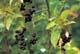 CHOKECHERRY FRUIT, GLENSIDE