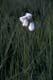 COTTON GRASS, WINNIPEG