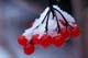 SNOW ON HIGHBUSH CRANBERRIES, MANITOBA