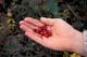 HANDFUL OF CRANBERRIES, BLACKSTONE UPLANDS