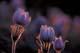 PRAIRIE CROCUS (BACKLIT), SANDILANDS PROVINCIAL FOREST