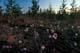 MEADOW OF PRAIRIE CROCUSES, SANDILANDS PROVINCIAL FOREST