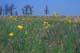 LARGE-FLOWERED FALSE DANDELION, TALL-GRASS PRAIRIE PRESERVE