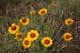 GAILLARDIA FLOWERS, GRASSLANDS NATIONAL PARK