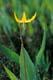 GLACIER LILY, BRITISH COLUMBIA