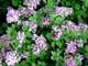 FLOWERING LILAC BUSHES IN SUMMER, SASKATOON