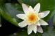 WHITE WATER LILY, GREENS CREEK