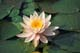 WATER LILY, ONTARIO