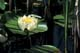 WATER LILY, PORT PERRY