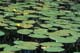 YELLOW WATER LILIES, PORT PERRY