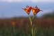WESTERN RED LILY IN MEADOW, TALL-GRASS PRARIE PRESERVE
