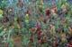 PITCHER PLANTS, WINNIPEG