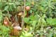 PITCHER PLANT, HOLYROOD
