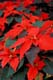 CLOSE UP OF RED POINSETTIA, BOWMANVILLE