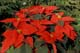 POINSETTIA FLOWERS, MINTER COUNTRY GARDENS, CHILLIWACK